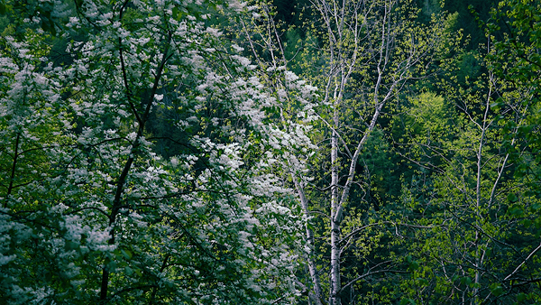 Hawthorn and silver birch