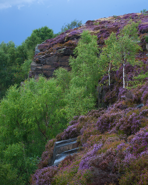 Silver Birches and Heather