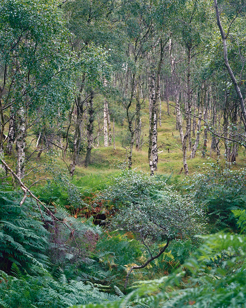 Bolehill Quarry Birches