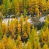 Forest of larch